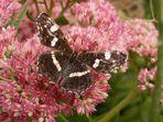 Landkärtchen (Araschnia levana) - Sommergeneration mit ausgebreiteten Flügeln