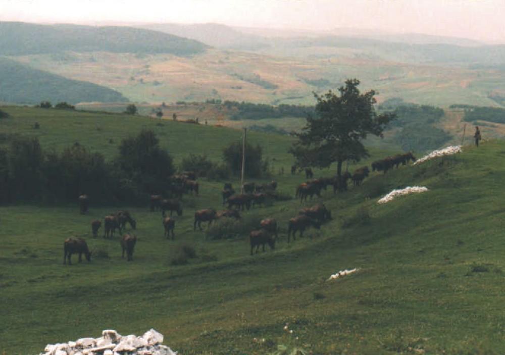 Landschaft bei Zalau in Rumänien (mit Büffelherde)