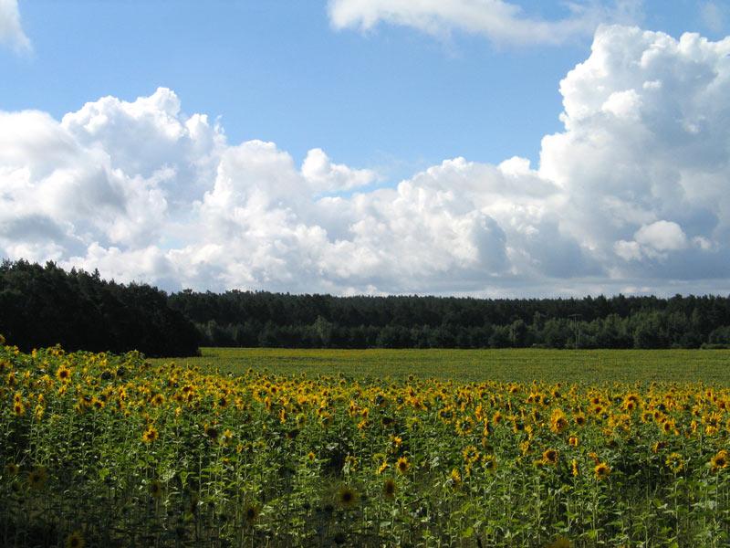 Landschaft mit Sonnenblumen 1
