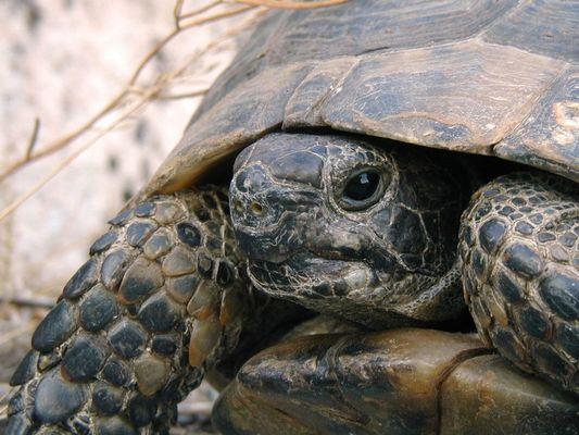 Landschildkröte in Perge / Türkei