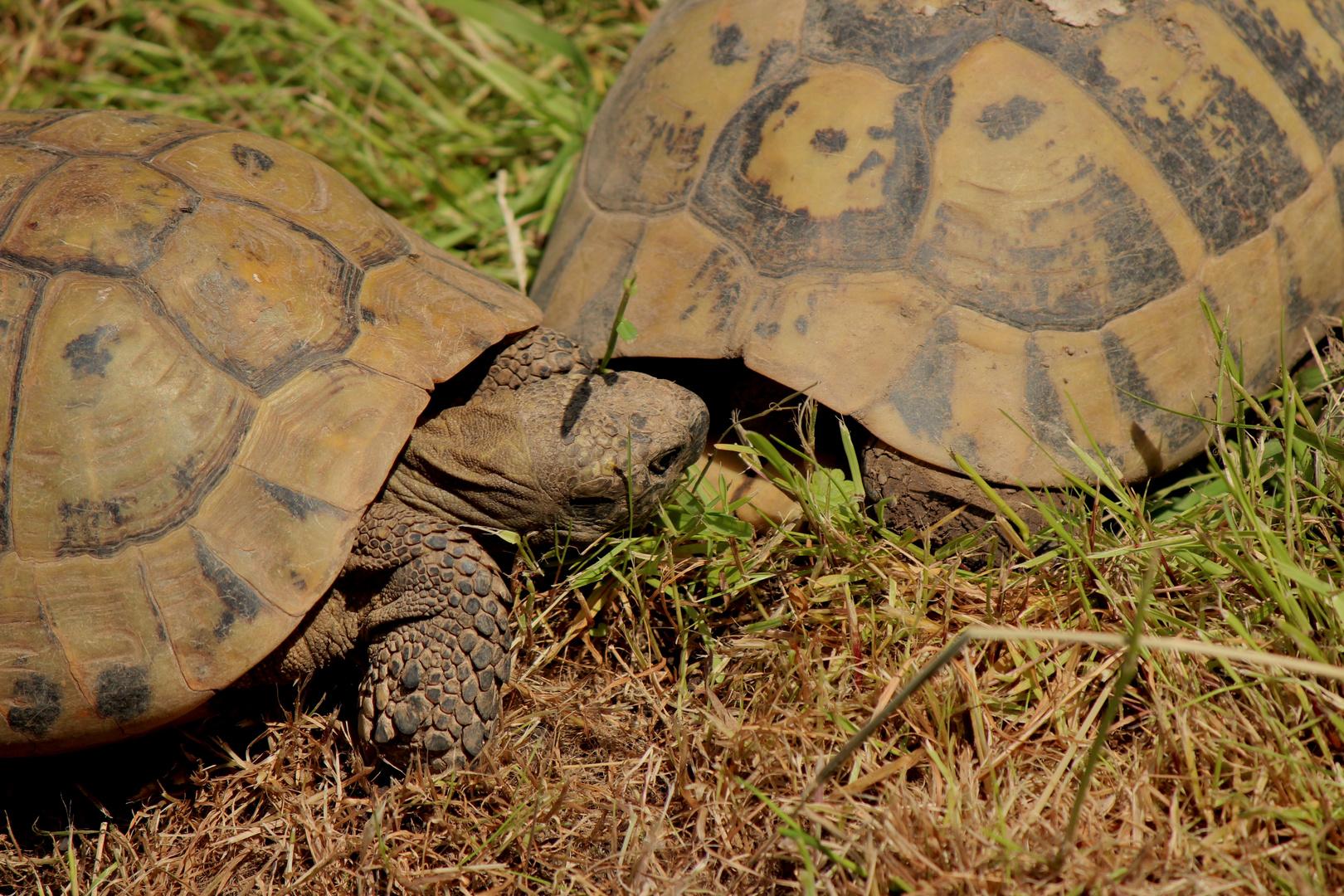 Landschildkröten ( Hallo jemand zu Hause?)