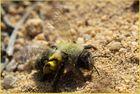 Landung der Sandbiene nach erfolgreicher Pollensuche