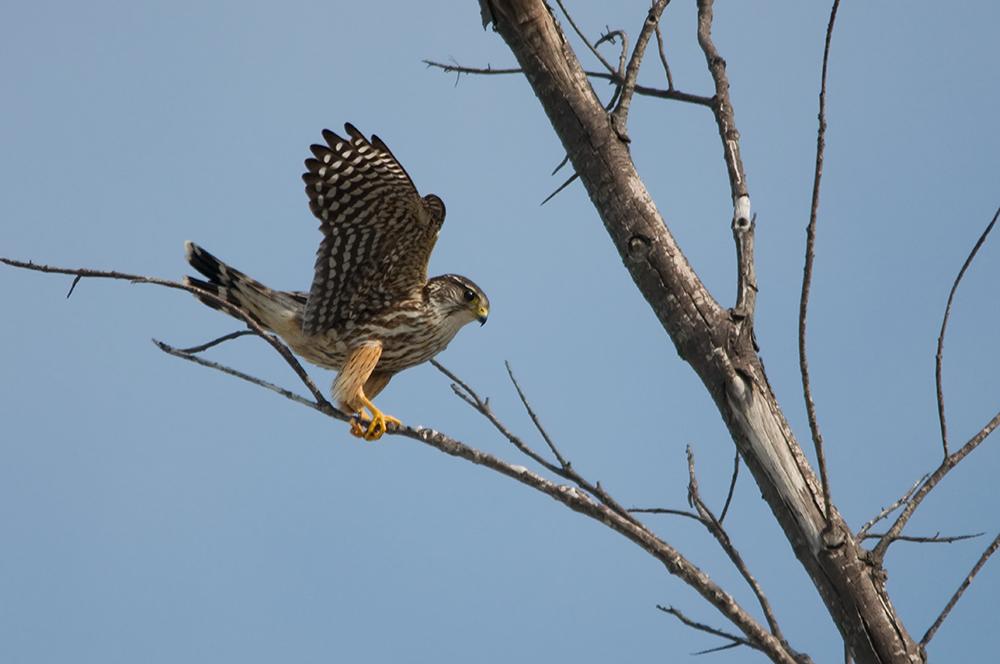 Landung eines Taiga Merlins...