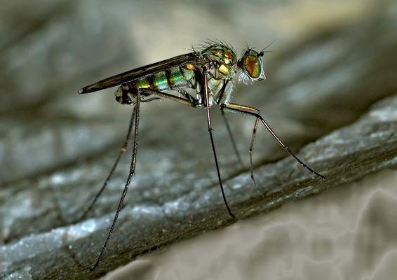 Langbeinfliege (Dolichopus ungulatus)? auf nassem Fels * - Ce n'est qu'une mouche minuscule!