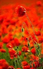 Lange Mohnblüte im Farbenmeer von Abermillionen