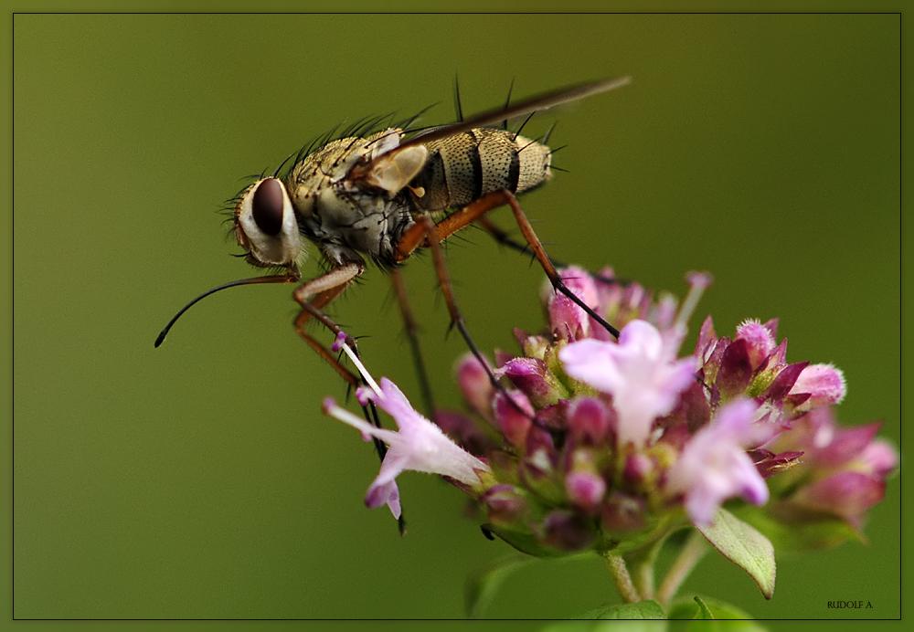 langer r ssel foto bild tiere wildlife insekten. Black Bedroom Furniture Sets. Home Design Ideas