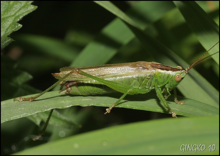 Langflügelige Schwertschrecke