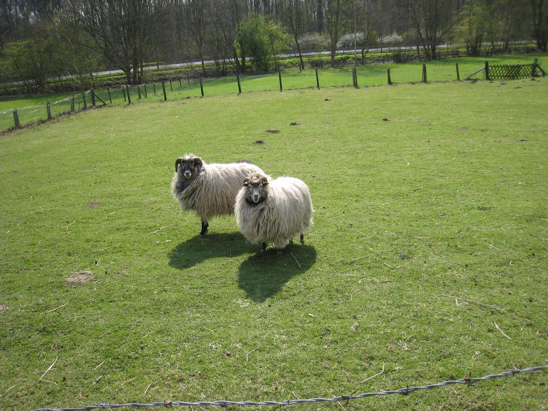 Langhaarige Schafe beim Grasen.