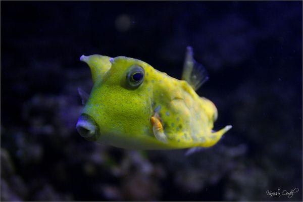 Langhorn - kofferfisch