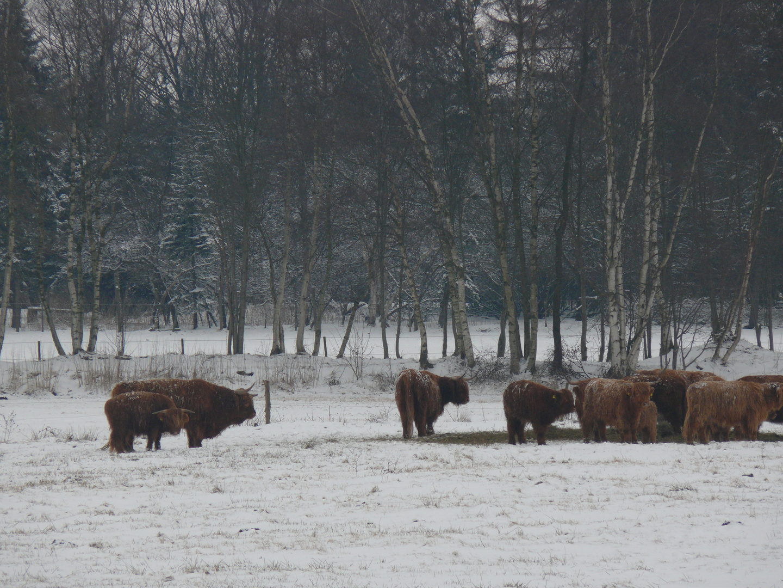Langhorn-Rinder im Schnee