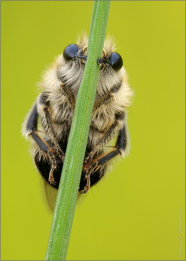 Langhornbiene
