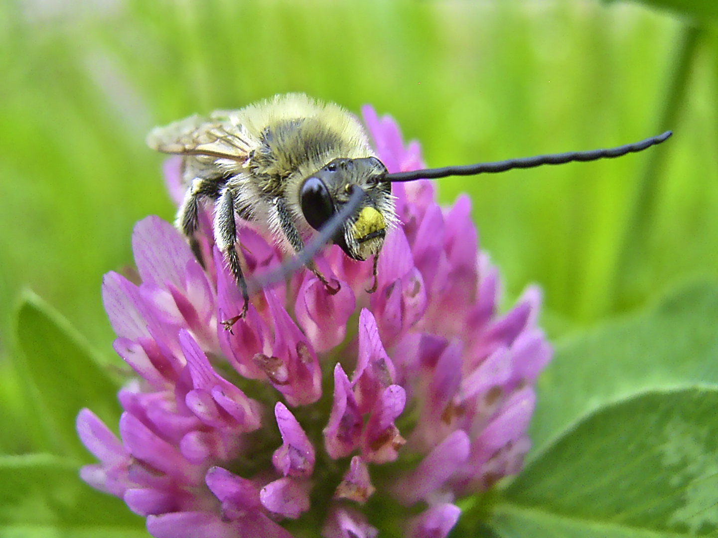 ... Langhornbienenmännchen ...