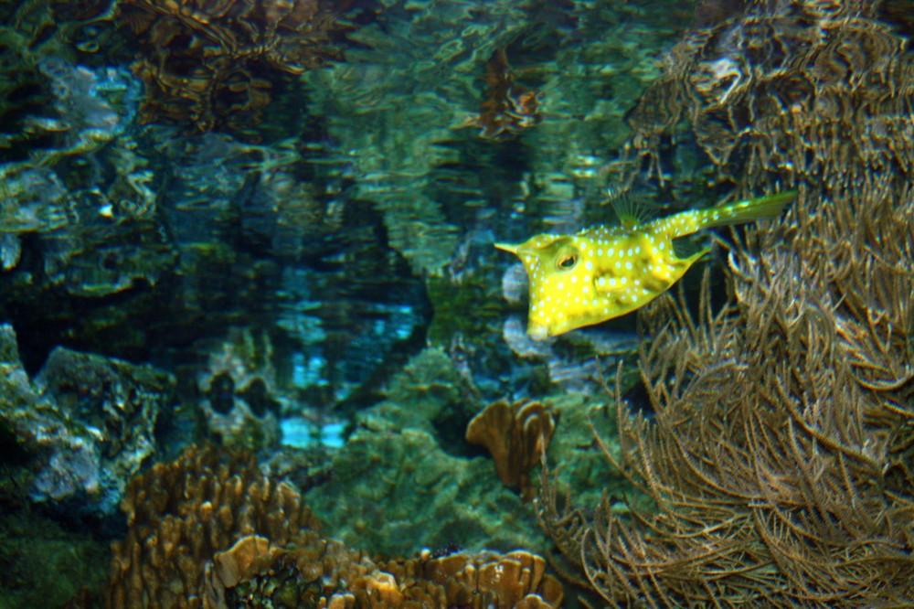 Langhornkofferfisch