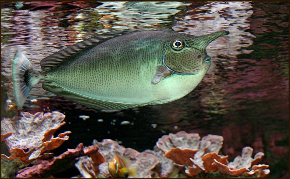 Langnasen- Nasendoktorfisch