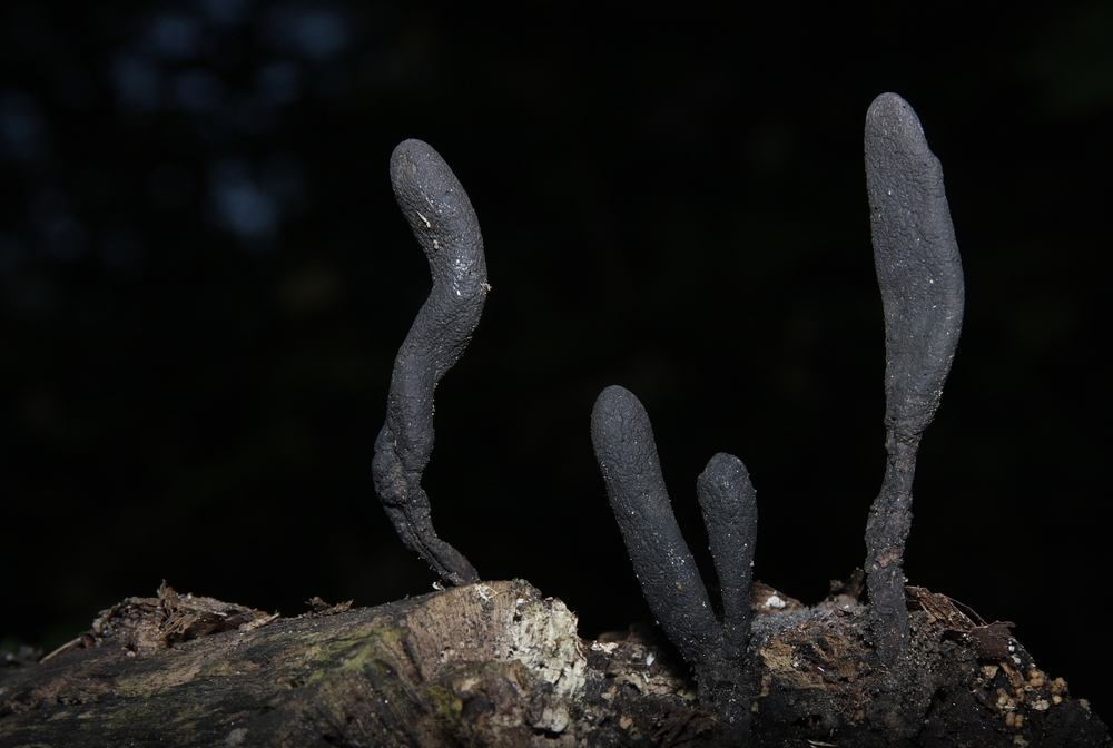 Langstielige Ahorn-Holzkeule, Xylaria longipes III