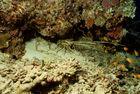 Languste im Riff