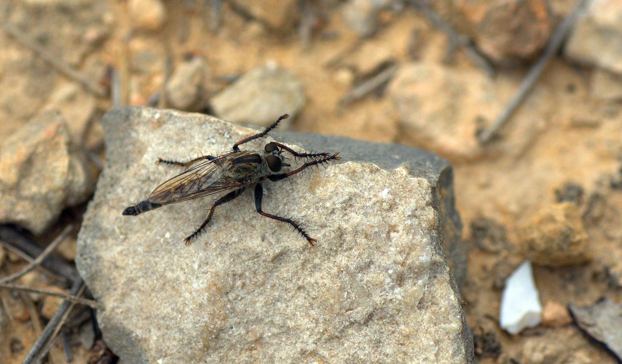 Laphria marginata (mosca asesina)