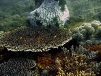 Lapus-Lapus Korallengarten