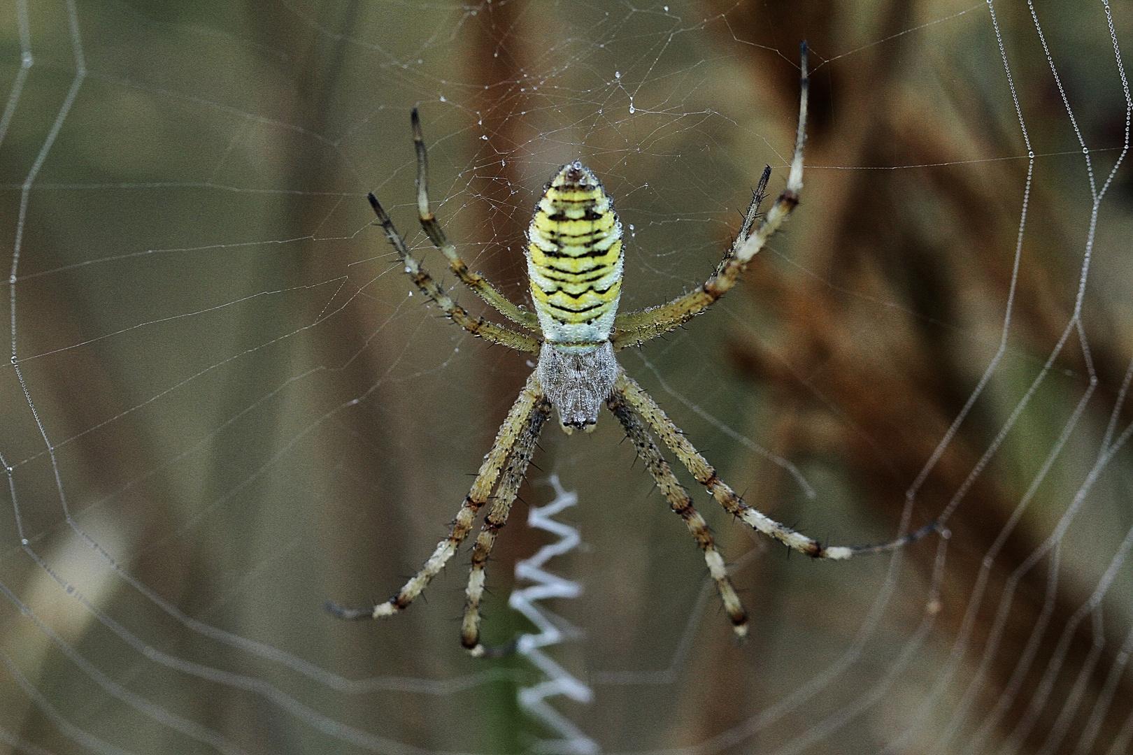 l'araignée !