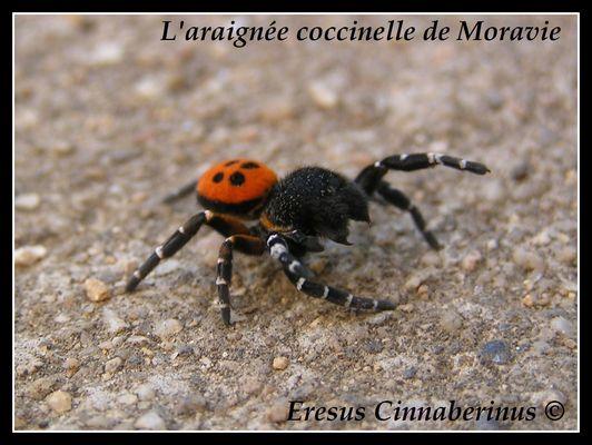 L'araignée coccinelle !