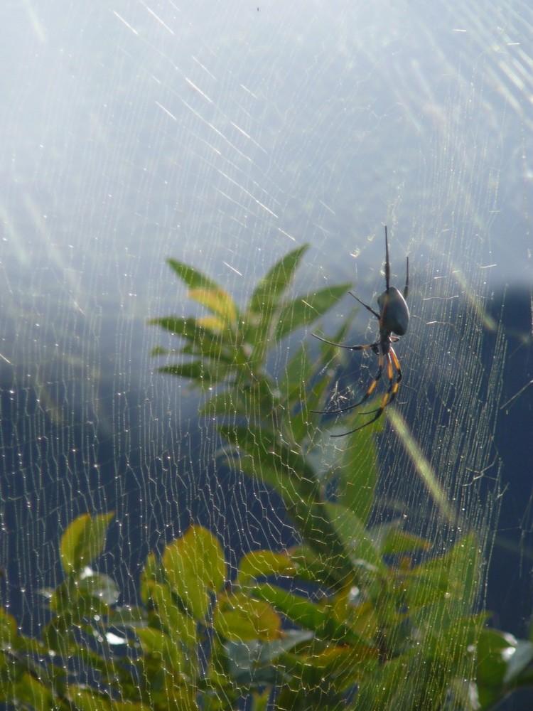 L'araignée et sa toile.