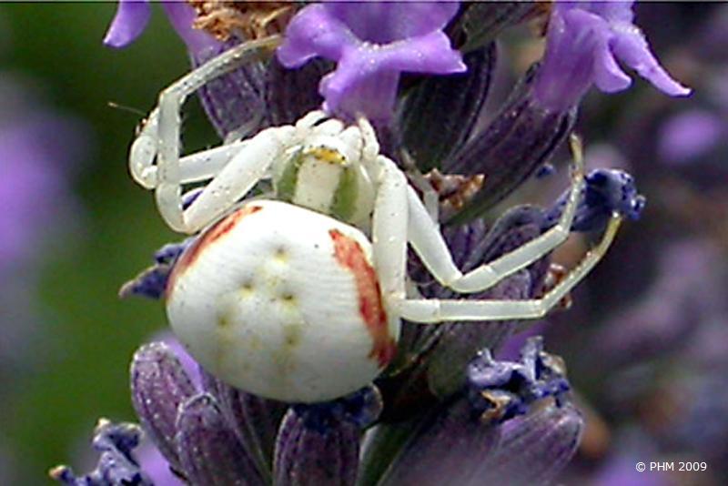 L'araignée tisse