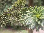 L'arbre à Singes