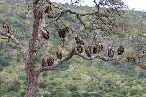 l'arbre à vautours