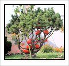 l'arbre aux potirons