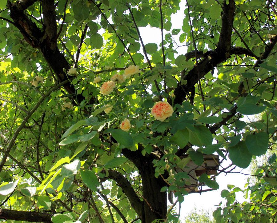 l'arbre aux roses!