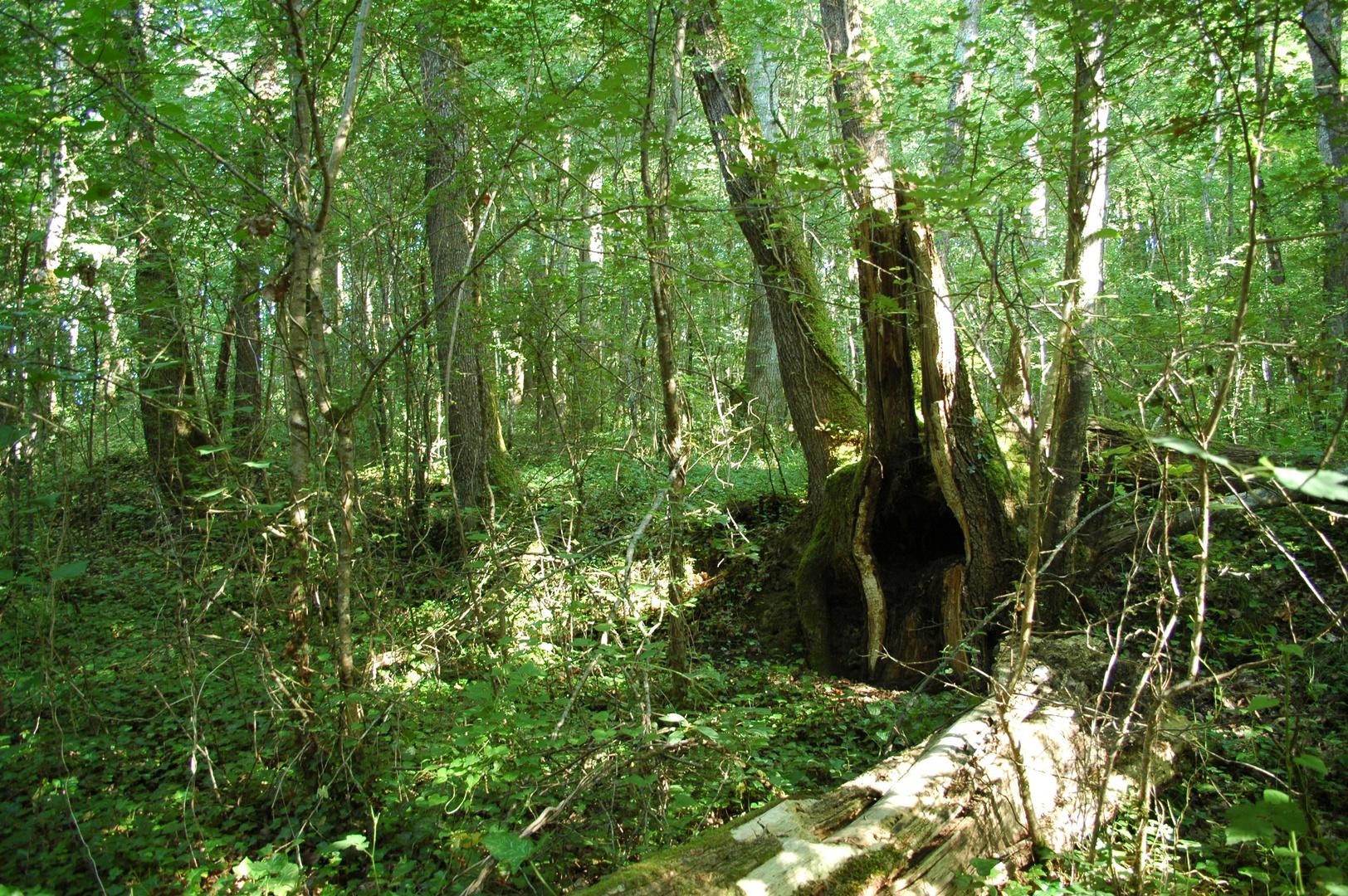 L'arbre cheminé
