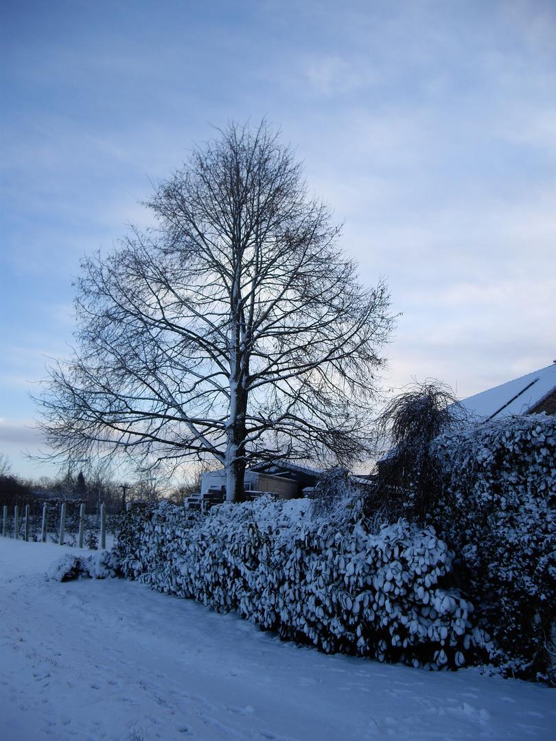 l'arbre enneigé