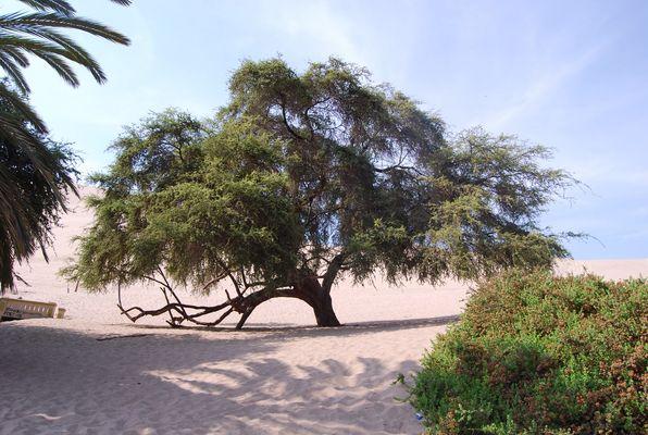 L'arbre ..Millénaire
