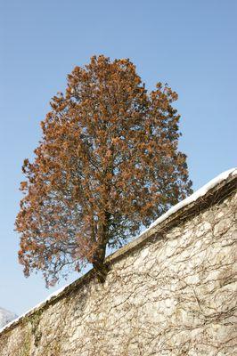 L'arbre passe muraille.
