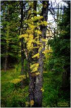 Larch Valley Autumn - Larch Valley Trail