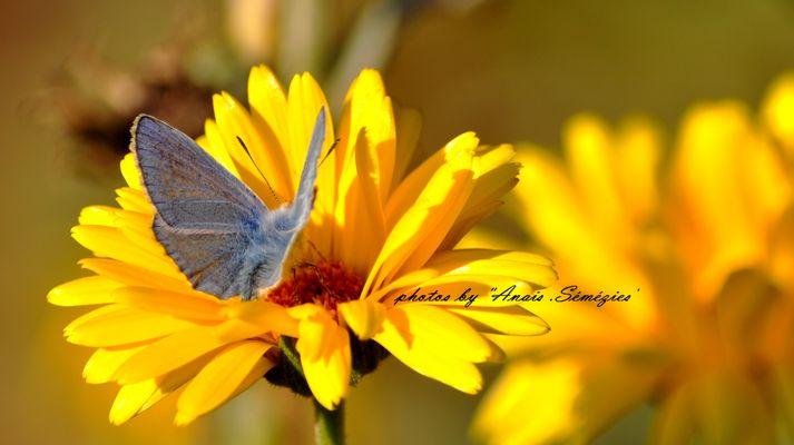 l'Argus bleu sur fond jaune orangé