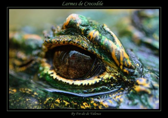 Larmes de crocodiles