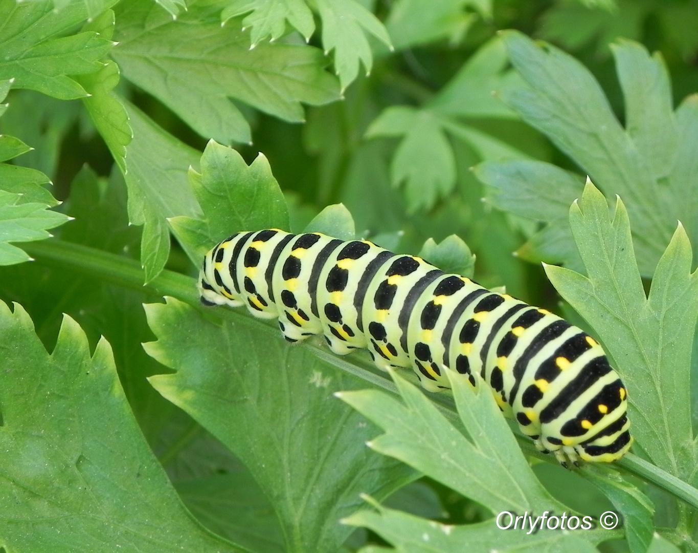 Larva Lepidoptera