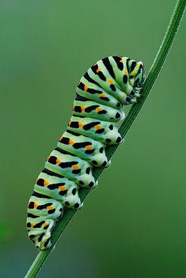 Larva Macaone