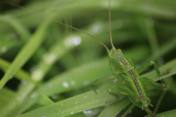 Larve de grande sauterelle verte