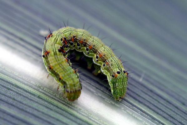 larve de papillon sur le maïs