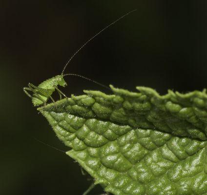 Larve de sauterelle