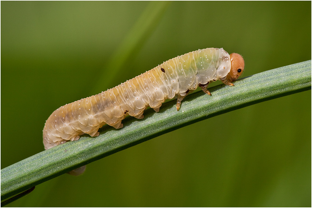 Larve einer Blattwespe