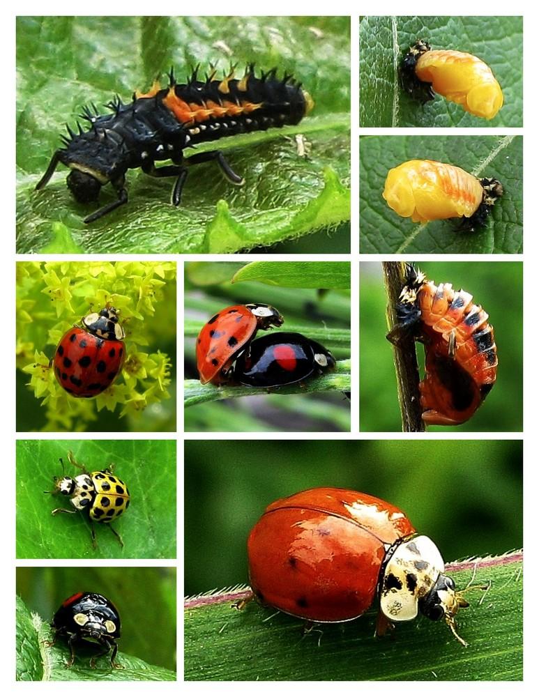 larven und marienk fer foto bild tiere wildlife. Black Bedroom Furniture Sets. Home Design Ideas