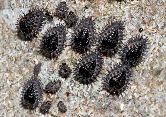 Larven vom Schwarzen Zweipunkt-Marienkäfer * - Les larves d'un genre de coccinelle.