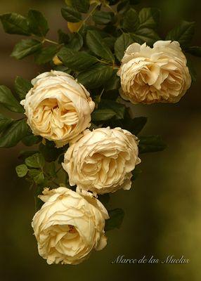 ...las 4 rosas...