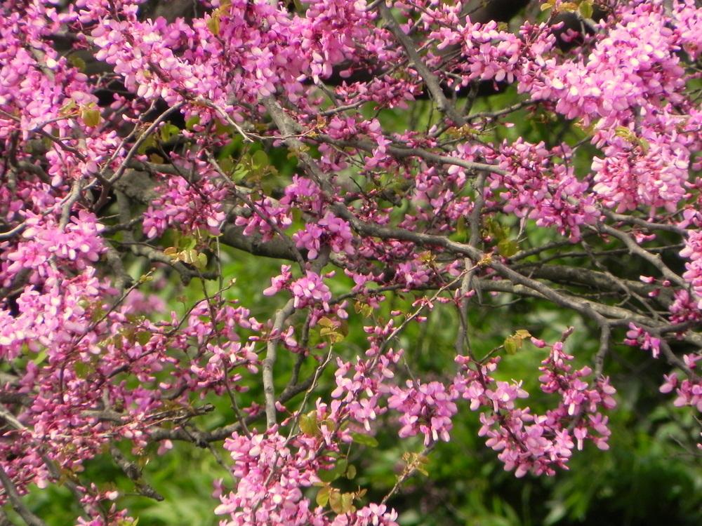 Las flores del arbol del parque imagen foto plantas - Arbol de rosas ...