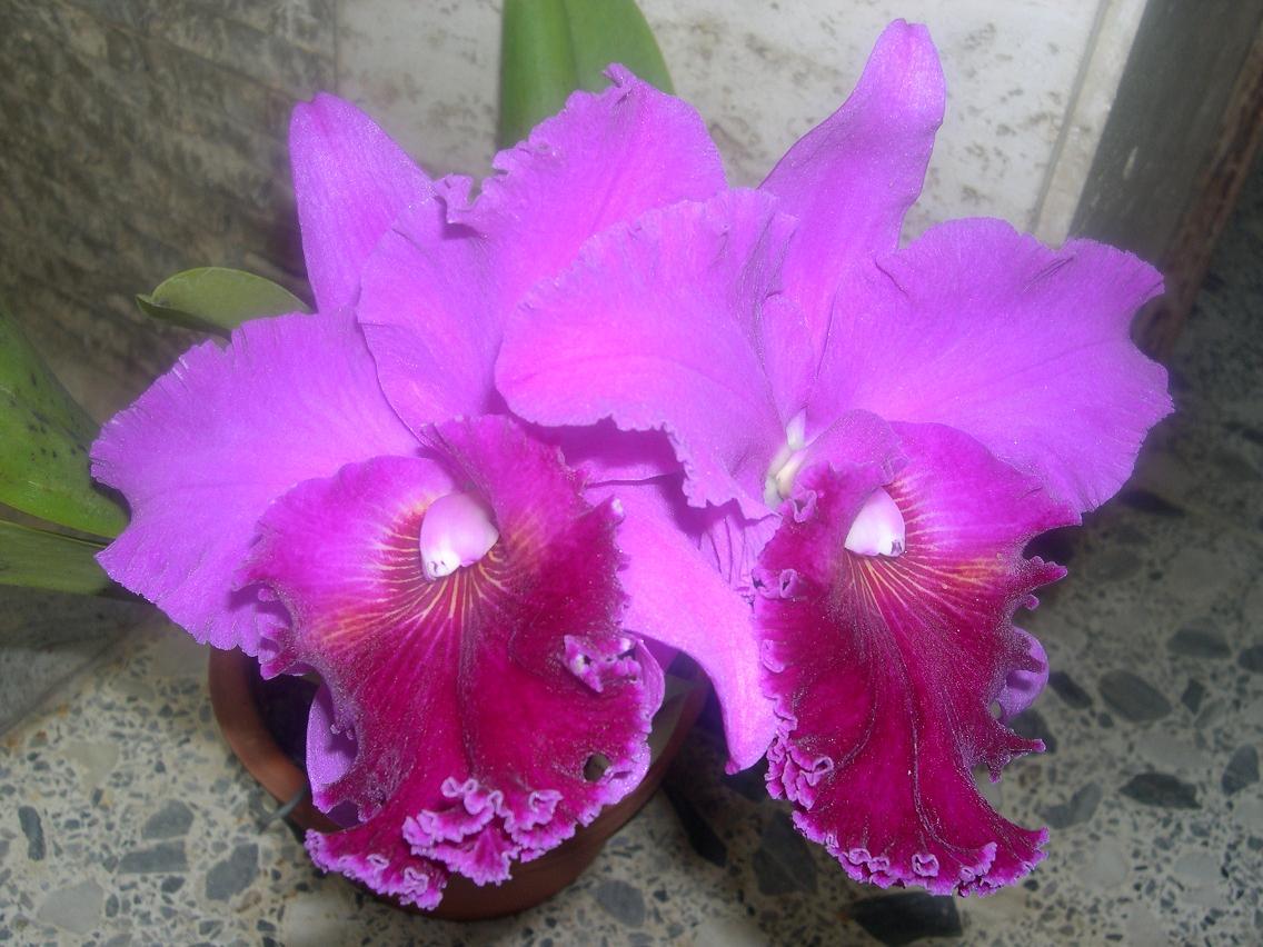 Las Orquideas de Maria de Pinto a