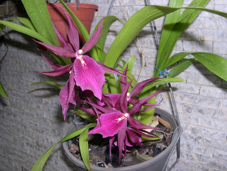 Las Orquideas de Maria de Pinto, a la defenciva.