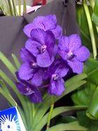 Las Orquideas de Maria de Pinto aa